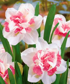 Double-Flowered Narcissi 'Replete' | Flower Bulbs | Bakker x 10, flowers April-may, cover pot from frost