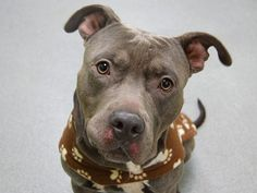 TO BE DESTROYED 04/01/14 Manhattan Center -P  My name is JOXER. My Animal ID # is A0994643. I am a male gray and white pit bull mix. The shelter thinks I am about 3 YEARS old.  I came in the shelter as a STRAY on 03/23/2014 from NY 10473, owner surrender reason stated was STRAY. https://www.facebook.com/photo.php?fbid=778276705518544&set=a.611290788883804.1073741851.152876678058553&type=3&theater