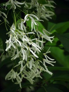 Chionanthus chinensis