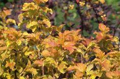 Blasenspiere 'Amber Jubilee' ® - Physocarpus opulifolius 'Amber Jubilee' ® - Baumschule Horstmann Amber, Plants, Garden Ideas, Queen, Google, Diy Garden Projects, Plant, Landscaping Ideas, Backyard Ideas