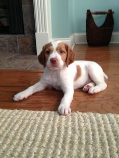 Brittany spaniel #puppy the only dog ill ever have!!