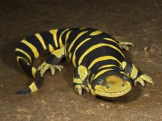 Scientists discovered the tiger salamander has a unique way to survive drought. Some eggs carry the genetic blueprints to become harmless plankton feeders. Others become cannibals. Meet the top animal survivors on Ultimate Animal Countdown