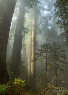 The towering redwoods of Del Norte Coast Redwoods State Park in the far north of California.