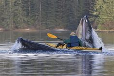 ONE IN A MILLION PHOTO  THAT'S A SEA KAYAK IN THE OPEN MOUTH OF A WHALE