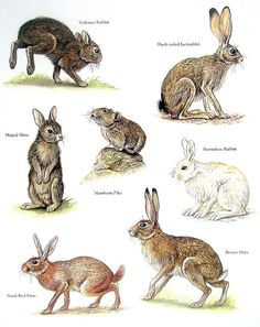 Items similar to Rabbits - Volcano Rabbit, Northern Pika, Brown Hare, Snowshoe Rabbit - Vintage Animal Book Plate Page on Etsy Animals Of The World, Animals And Pets, Cute Animals, Jack Rabbit, Rabbit Art, Animal Facts, Animal 2, Pika Animal, Animal Plates