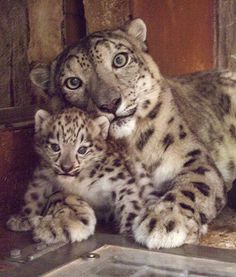 Misha the snow leopard cub can now be seen in her exhibit with her mother, Natasha, at the Denver Zoo in Colorado. Very cute!