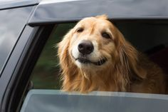 18 Things All Golden Retrievers Owners Must Never Forget