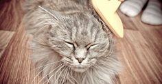 Comment limiter les boules de poils chez son chat ?  Quand ils font leur toilette, les chats avalent beaucoup de poils. Une fois ingérés, ceux-ci peuvent former des boules qui s'accumulent dans leur estomac et les font vomir. Alors, comment les limiter ?