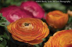 Ranunculus Fine Art Photo Print by BeckyTylerArt on Etsy