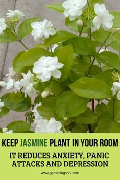 Keep Jasmine Plant in Your Room. It Reduces Anxiety, Panic Attacks and Depression - Keep Jasmine Plant in Your Room. It Reduces Anxiety, Panic Attacks and Depression Keep Jasmine Plant in Your Room. It Reduces Anxiety, Panic Attacks and Depression Jasmine Plant Indoor, Best Indoor Plants, Outdoor Plants, Garden Plants, Outdoor Gardens, Indoor Garden, Flowering House Plants, Garden Sofa, Rooftop Garden