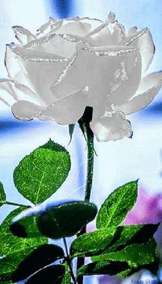 Gardens Discover A beautiful white rose Flowers Gif Pretty Flowers White Flowers Beautiful Gif Beautiful Roses Beautiful Pictures Simply Beautiful Love Rose Jolie Photo Roses Gif, Flowers Gif, Beautiful Rose Flowers, Beautiful Gif, Rare Flowers, Love Rose, White Flowers, Red Roses, Simply Beautiful
