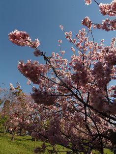 Cherry Tree Festival - Parque do Carmo 19 by Flame-Echidna.deviantart.com on @deviantART
