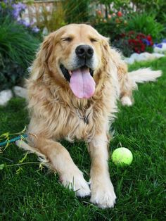 The Lovable, Always Faithful Golden .