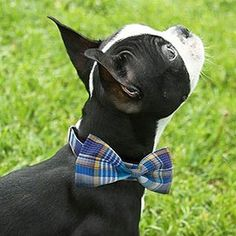 The many things we enjoy about the Bright Boston Terrier Puppies Boston Terriers, Boston Terrier Love, Terrier Puppies, I Love Dogs, Puppy Love, Cute Dogs, Dog Wedding, Dog Bows, Dog Design