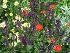 Long border end of  June.Anthemis Sauce Hollandaise, Geum 'Mrs Bradshaw',Salvia 'Mainacht' and Artemisia 'Silver Queen'