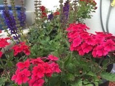 The small, bushy, clusters of verbena flowers provided me with color from Spring through Fall. Read about how to grow them in your own garden. Decks And Porches, Verbena, Small Gardens, Joy, Fall, Spring, Secret Gardens, Flowers, Plants