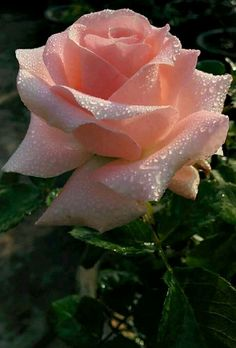 A wedding rose...a lifetime of love...a thousand years would not be enough.