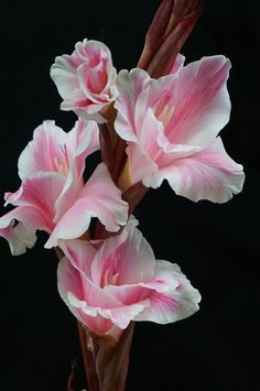 ~~sword orchid (gladiolus) by I love orchids! This picture is especially stunning.~~sword orchid (gladiolus) by I love orchids! This picture is especially stunning. All Flowers, Exotic Flowers, Amazing Flowers, My Flower, Beautiful Flowers, Orchid Flowers, Pink Orchids, Beautiful Gorgeous, White Flowers