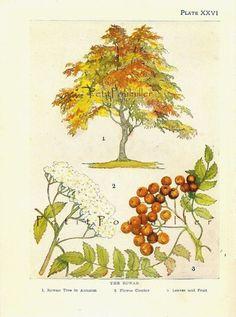 Rowan Botanical - 1901 illustration J.H. Kelman