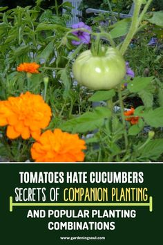 Tomatoes Hate Cucumbers: Secrets Of Companion Planting and Popular Planting Combinations - Companion planting is the practice of planting two or more plants together for mutual benefit. Companion Planting Chart, Companion Gardening, Cucumber Companion Plants, Planting Vegetables, Growing Vegetables, Growing Tomatoes, Organic Gardening, Gardening Tips, Urban Gardening