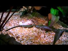 Ghost shrimp eating a fish Ghost Shrimp, Dead Fish, Vegetables, Eat, Youtube, Food, Veggie Food, Vegetable Recipes, Youtubers