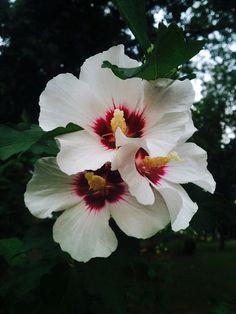 ✯ Rose Of Sharon