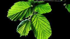 Planten | Hazelaar (Corylus avellana) | Ecopedia | Bouwen aan groenexpertise
