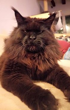 A Maine Coon who is a serious Dude Beautiful Cats, Animals Beautiful, Cute Animals, Maine Coon Kittens, Cats And Kittens, Kitty Cats, Snowshoe Cat, F2 Savannah Cat, Siberian Cat