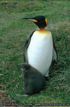 Penguin of the Day - King Penguin, Penguin Love, Antarctica, Penguins, Animals, Animales, Animaux, Penguin, Animal