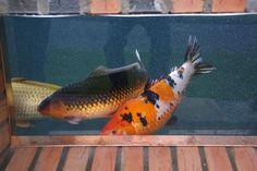 attachments/dsc02496-jpg.4076/ Pond, Fish, Animals, Water Pond, Animales, Animaux, Pisces, Animal, Animais