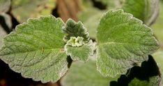 Jak využít rýmovník | rady a tipy. Plectranthus argentatus, u nás lidově zvaný rýmovník, dnes doma pěs