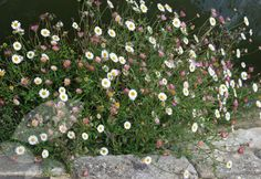 Mexican fleabane Erigeron karvinskianus - this pretty daisy makes a perfect edging plant for borders and paths and is a must-have for a wildlife friendly-garden (very popular with bees and butterflies)