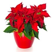 Pět chyb, kterými ničíte vánoční hvězdu Christmas Time, Home And Garden, Herbs, Gardening, Plants, Ursula, Balcony Design, Lawn And Garden, Herb