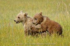 Two cute baby bear cubs playing together. Baby Bear Cub, Grizzly Bear Cub, Baby Bears, Bear Cubs, Bear Images, Bear Pictures, Cool Pictures, Alaska Travel, Photography Workshops