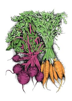 Bunched beetroot and carrots - May van Millingen's Food Illustrations
