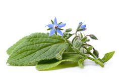 Borage Seed Botanical Oil - Fixed- Spicwitch.com