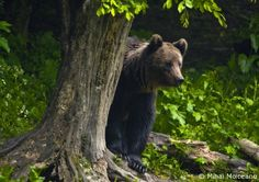 Brown bear hiding behind a tree in Retezat National Park  http://www.panparks.org/visit/our-parks/retezat-national-park