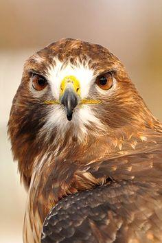 September, September, September. (Red Tailed Hawk)