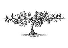 Grapevine Stock – by Steven Noble - Modern Grape Drawing, Vine Drawing, Plant Drawing, Grape Tree, Grape Plant, Grape Vine Trellis, Grape Vines, Wine Tattoo, Wine Vine