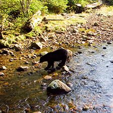 Bear viewing from Vancouver ... Grizzly bear crossing a stream (Canadian Tourism Commission photo)