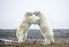 Photographer Wim Van Dan Heever's Images Capture Chases And Fights In The Animal Kingdom It's difficult to tell whether this is a serious fight or just some fooling around by a pair of polar bears. (Wim van Den Heever / Mercury Press / The Daily Mail) Pretoria, Polar Bear Illustration, Animals Beautiful, Cute Animals, Grouper Fish, Animal Magnetism, Bear Design, Nature Animals, Wild Animals