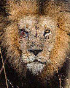 🔥 This lion Wild Animals Pictures, Lion Pictures, Animal Pictures, Corolla Toyota, Toyota Camry, Toyota Supra, Badass Pictures, La Sainte Bible, Lion Photography