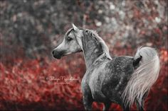 arabian, grey, and horse image