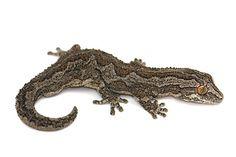 Strophurus intermedius (southern) #geckos #lizards