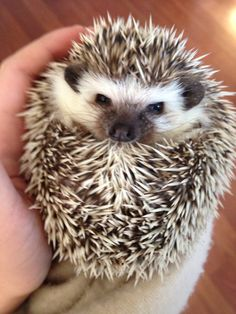 Meet my headgehog