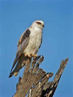 Black-shouldered Kite: From the Archives | by birdsaspoetry