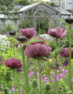 Papaver 'Patty's Plum' - planted 3 this year, after drooling over them in a Gardens Illustrated magazine. Spotted one during a trip to the Old Well with Zoe and picked another 2 up from Ebay.