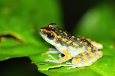 Spotted Stream Frog