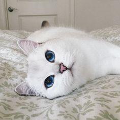 Vous allez fondre ! Coby, un british shorthair blanc, ne laisse personne indifférent. Avec ses yeux d'un bleu profond, ce chat possède le plus beau regard du monde. Il fait d'ailleurs le bonheur de nombreux internautes qui sont plus de 400.000 à le suivre sur Instagram.