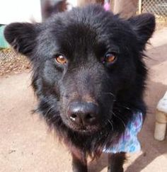 Midnight  Chow Chow/Schipperke Mix: An #adoptable dog in #Charlotte, #NCAROLINA   Medium • Young • Male